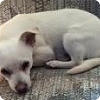 Chihuahua Mix Dog for adoption in Seattle, Washington - Tuffy