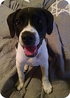 Pointer/Labrador Retriever Mix Puppy for adoption in Plainfield, Connecticut - Floki (JS)