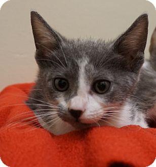 Domestic Mediumhair Kitten for adoption in Houston, Texas - Carlos