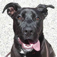 Adopt A Pet :: Shay - Santa Rosa, CA