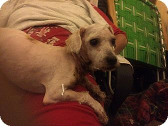 Poodle (Miniature)/Terrier (Unknown Type, Small) Mix Dog for adoption in Alhambra, California - Astro