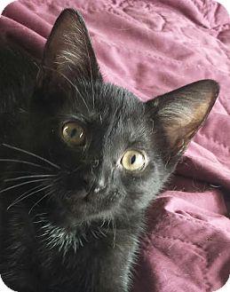 Domestic Shorthair Kitten for adoption in Colfax, Iowa - Simon