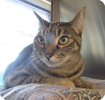 Domestic Shorthair Cat for adoption in North Richland Hills, Texas - Tabby  $60