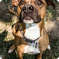 Adopt A Pet :: Daisy Duke - Kansas City, MO