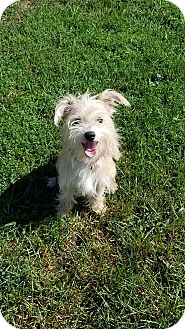 Yorkie, Yorkshire Terrier/Terrier (Unknown Type, Small) Mix Dog for adoption in New Windsor, New York - SAMMIE
