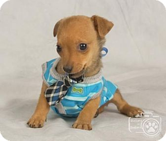 Chihuahua Puppy for adoption in Colorado Springs, Colorado - Bruce