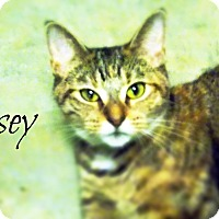 Domestic Shorthair Cat for adoption in Defiance, Ohio - Casey