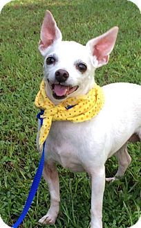 Chihuahua Dog for adoption in Lafayette, Louisiana - Holly