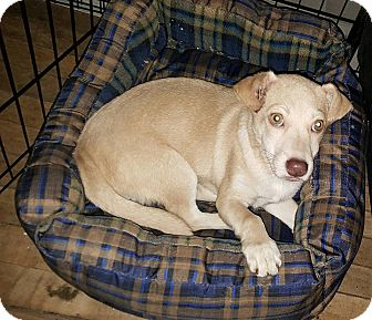 Labrador Retriever/Corgi Mix Puppy for adoption in Burlington, Vermont - Cayo