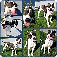 Adopt A Pet :: Bentley - Joliet, IL