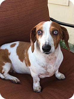 Dachshund Dog for adoption in San Antonio, Texas - Freedom