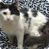 Domestic Longhair Cat for adoption in Naperville, Illinois - Seymour-LONG-HAIRED, FRIENDLY!