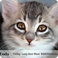 Adopt A Pet :: Yoda - Temecula, CA