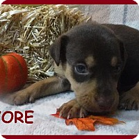 Terrier (Unknown Type, Small)/Miniature Pinscher Mix Puppy for adoption in Batesville, Arkansas - Eeyore