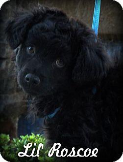 Cocker Spaniel/Standard Schnauzer Mix Puppy for adoption in Anaheim Hills, California - Lil Roscoe