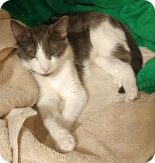 Domestic Shorthair Cat for adoption in Middlebury, Connecticut - May