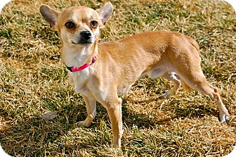 Chihuahua Mix Dog for adoption in Meridian, Idaho - Taos