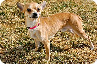 Chihuahua Mix Dog for adoption in Meridian, Idaho - Taos