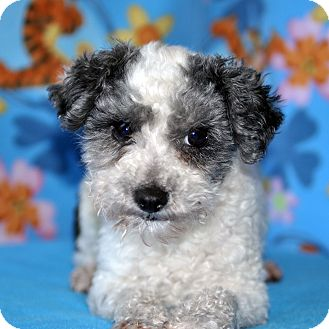 Poodle (Toy or Tea Cup) Dog for adoption in Howell, Michigan - Smitty
