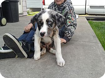 Australian Shepherd/Rhodesian Ridgeback Mix Puppy for adoption in Welland, Ontario - Donnie