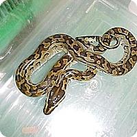 Adopt A Pet :: Jayson - Kelso, WA
