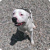 Adopt A Pet :: Apache - Berlin, CT