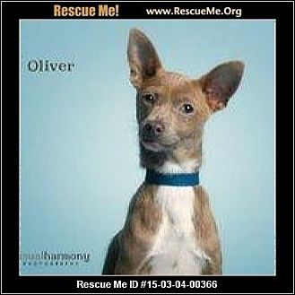 Basenji/Rat Terrier Mix Puppy for adoption in Phoenix, Arizona - Oliver