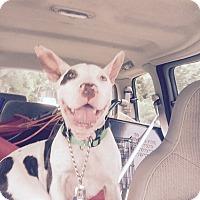 Adopt A Pet :: MANDY (sm fry) - Pittsburgh, PA