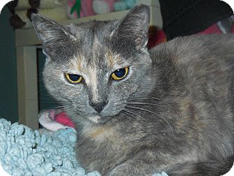 Domestic Shorthair Cat for adoption in Whiting, Indiana - Robin