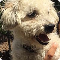 Adopt A Pet :: Bingo - I do not shed! - Los Angeles, CA