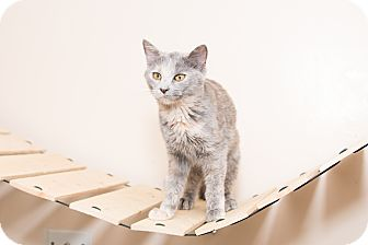 Domestic Shorthair Cat for adoption in Chicago, Illinois - Lexi