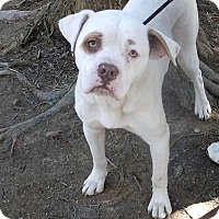 American Bulldog Mix Dog for adoption in Rockmart, Georgia - Bently