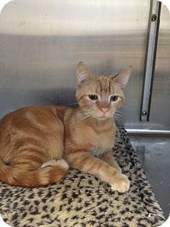 Domestic Shorthair Cat for adoption in Philadelphia, Pennsylvania - ~Courtesy Listing~ Rusty