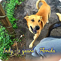 Adopt A Pet :: Indy (fostered in FL) - Cranston, RI