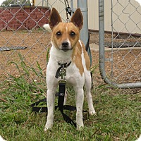 Rat Terrier Mix Dog for adoption in Redwood Falls, Minnesota - Lil' Buddy