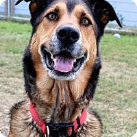 German Shepherd Dog/Labrador Retriever Mix Dog for adoption in High River, Alberta - Allie