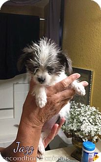 Chihuahua/Terrier (Unknown Type, Small) Mix Puppy for adoption in Rosamond, California - Jazz