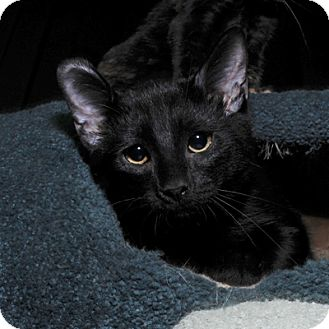 Domestic Shorthair Kitten for adoption in Mississauga, Ontario, Ontario - Tipton