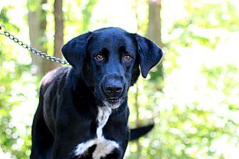 Labrador Retriever Mix Dog for adoption in Edwardsville, Illinois - trapper