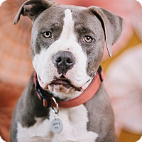 Adopt A Pet :: Gino - Portland, OR