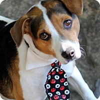 Beagle Mix Dog for adoption in Dalton, Georgia - Biscuit