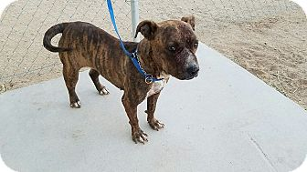Pit Bull Terrier Mix Dog for adoption in California City, California - Brandy