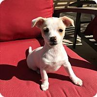 Adopt A Pet :: Luna - Brea, CA