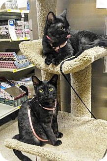 Domestic Shorthair Cat for adoption in Las Vegas, Nevada - Bindi & Bree