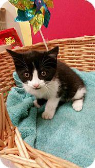 Domestic Shorthair Kitten for adoption in Decatur, Alabama - Mckenzie