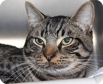 Domestic Shorthair Cat for adoption in Middletown, Connecticut - Terrance