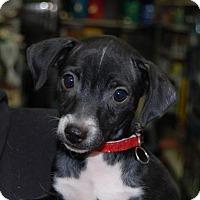 Adopt A Pet :: Turbo - Brooklyn, NY
