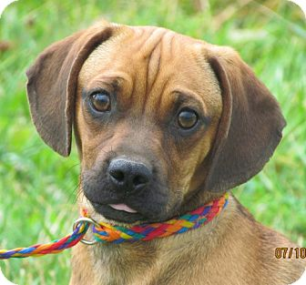 pug and weiner dog mix mr wrinkles adopted dog providence ri pug 7457