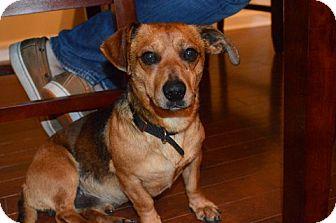 Dachshund Dog for adoption in Raleigh, North Carolina - Sam