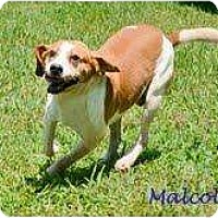 Adopt A Pet :: Malcolm - Spring City, TN
